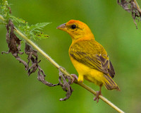 Orange-fronted Yellow-finch